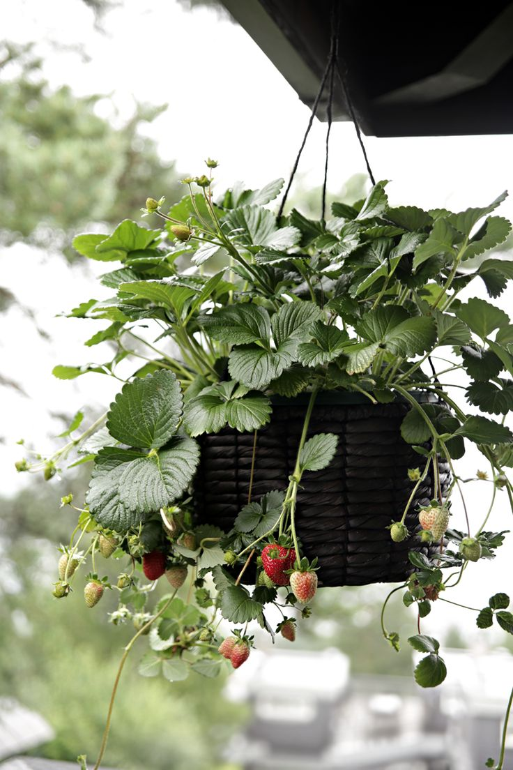 Hanging strawberry plant - Stylizimo