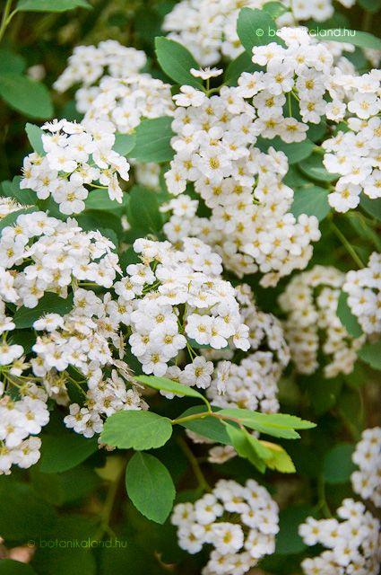 Kerti Gyöngyvessző (Spiraea x vanhouttei)