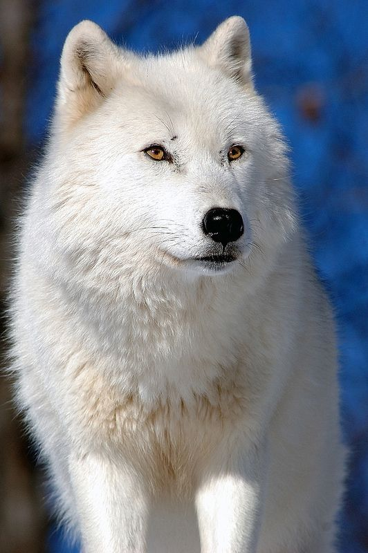 ☀Arctic Wolf by kingarfer*