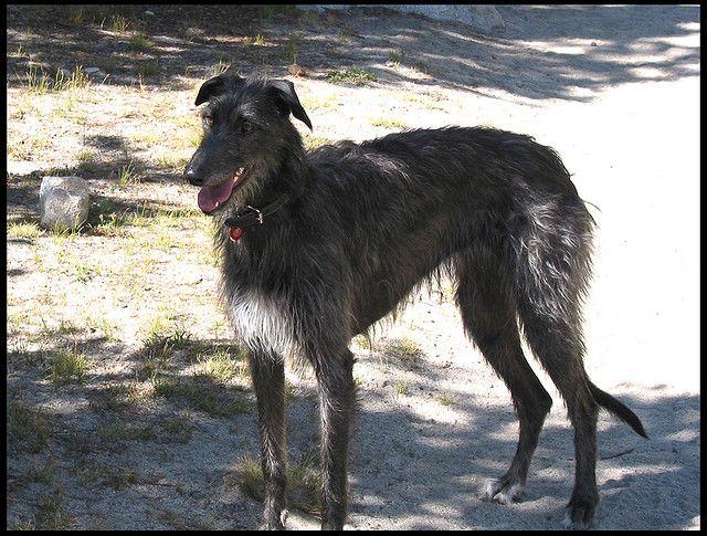 LYONHIL BRENNA - Scottish Deerhound