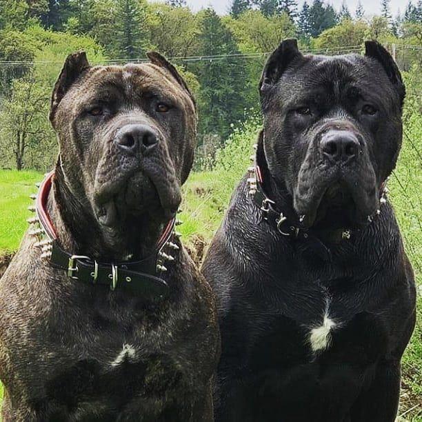 Cane Corso Couple Follow Canecorsoeurope Canecorso Dogsofinstagram Dogs Dogstagram Dogsofig Bully By Cane Corso Bully Breeds Dogs Corso Dog