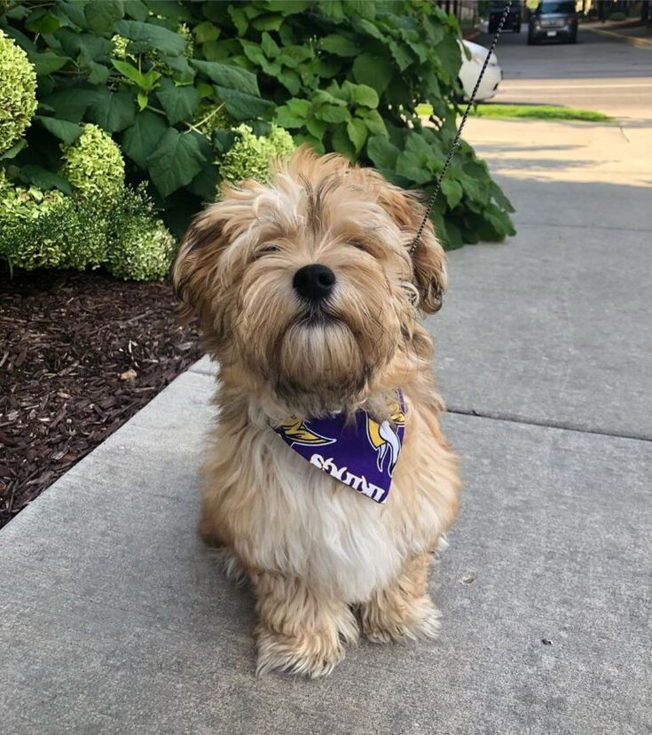 Available puppies premiere havanese puppies in 2020