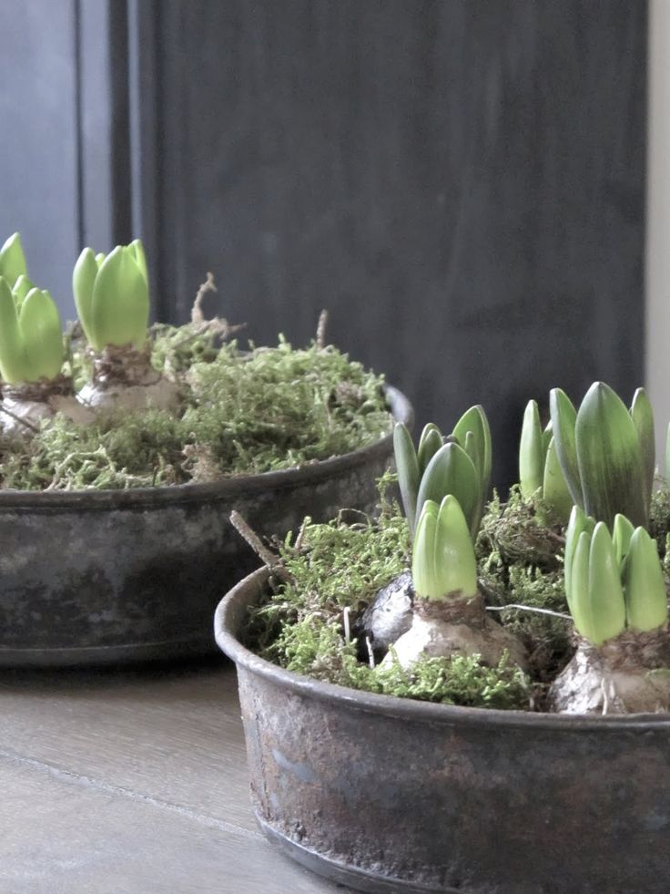 Pebbles and moss to force bulbs. Would like to try this. Pretty