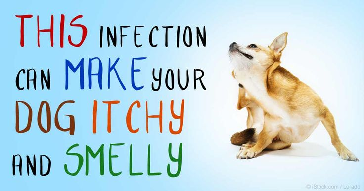 Dog Has An Ear Yeast Infection