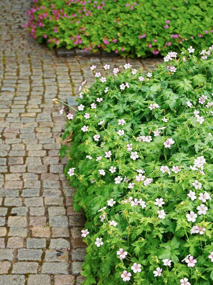 Kronnäva, Geranium x oxonianum, 'Rebecca Moss' | Bildar en tät låg matta som döljer jorden. Den bildar en fin kant mot stenläggningen i Kölnbacksparken där den försynt faller över den låga rabattkanten. Blommorna är näpet tvåfärgade i rosa och vitt. Vilken färg som dominerar varierar från blomma till blomma, vilket ger den här sorten ett särdeles levande och intressant utseende. Sol-halvskugga. 20-30 cm.