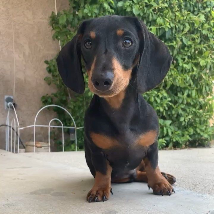 A Kiss From Me To All Of You 5000 Lovely Amazing Beautiful Super Wonderful Gorgeous Sweet Followers Thank You For Ma Doxie Puppies Tiny Puppies Dogs With Jobs