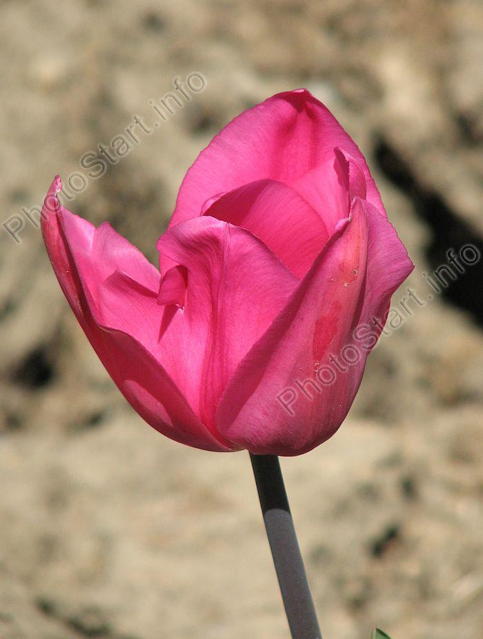 Don Quixote. Крупный эффектный тюльпан с лавандово-розовыми лепестками относится к группе триумф. Высота стебля достигает 45 см, цветки одиночные. Сорт вывели в 1952 году, с тех пор он получил признание как один из самых лучших розовых тюльпанов для групповых посадок. Ведь главным качеством этого сорта является не только красота, но долгий период цветения.