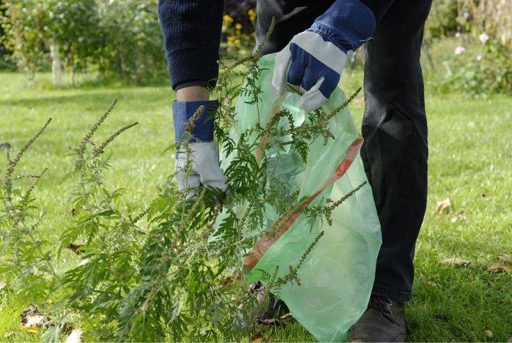 Eine Ambrosia-Pflanze, auch Beifußblättriges Traubenkraut genannt, produziert in einem Jahr bis zu eine Million Pollen – und macht damit vielen Allergikern das Leben schwer. So erkennen und beseitigen Sie den Neophyten.