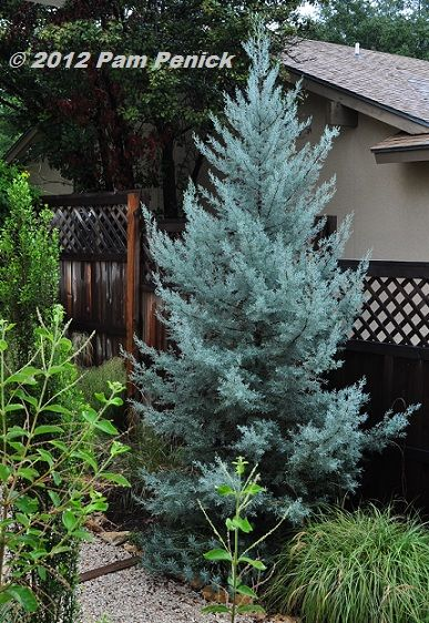 Arizona Cypress 'Blue Ice' - This brilliant ice blue cypress would be a dramatic addition any landscape!  Fast growing and happy here in the south!!