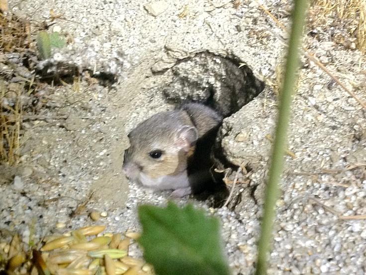 Burrowing (San Bernardino) kangaroo rat