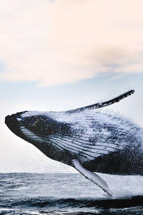 photo_animals | Humpback Style - Alexander Safonov