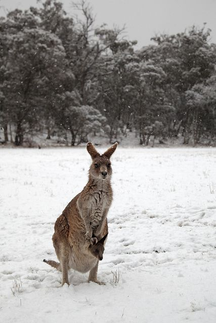 Kangaroo and Joey - Australia