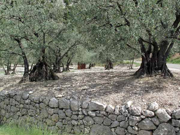 Walking in France: Part of the ancient olive groove near Buis-les-Baronnies