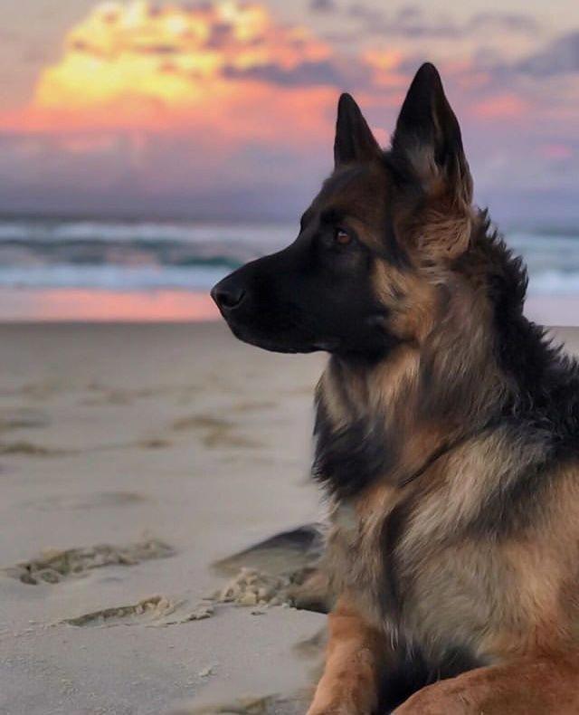 German Shepherd Strong And Loyal German Shepherd Dogs German