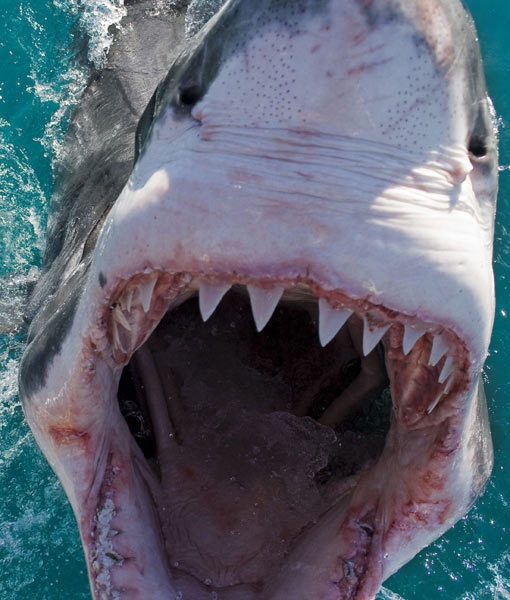 Great White Shark. This is kinda scary haha