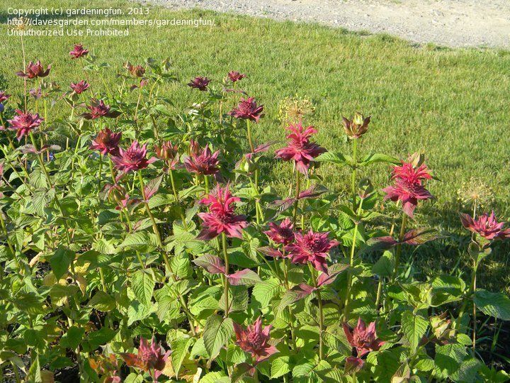 images of bee balm plants | Full size picture of Bee Balm, Beebalm, Bergamot, Firecracker Plant ...