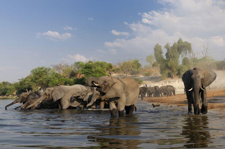 Elephant (Loxodonta africana) at Chobe River, Chobe National Park, near Kasane, Botswana