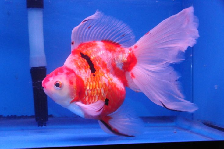 139 best images about ryukin goldfish on pinterest for What fish can live with goldfish in a pond