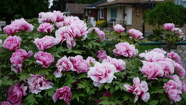 i'd have peony bushes in front of our house