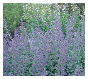 Nepeta 'Dropmore' | Lambley Nursery