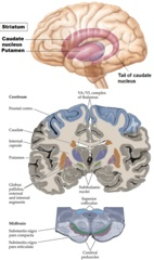 Basal Ganglia: Caudate, putamen, and the globus pallidus -The substantia nigra and the subthalamic nucleus (in the ventral thalamus) are also associated with these nuclei