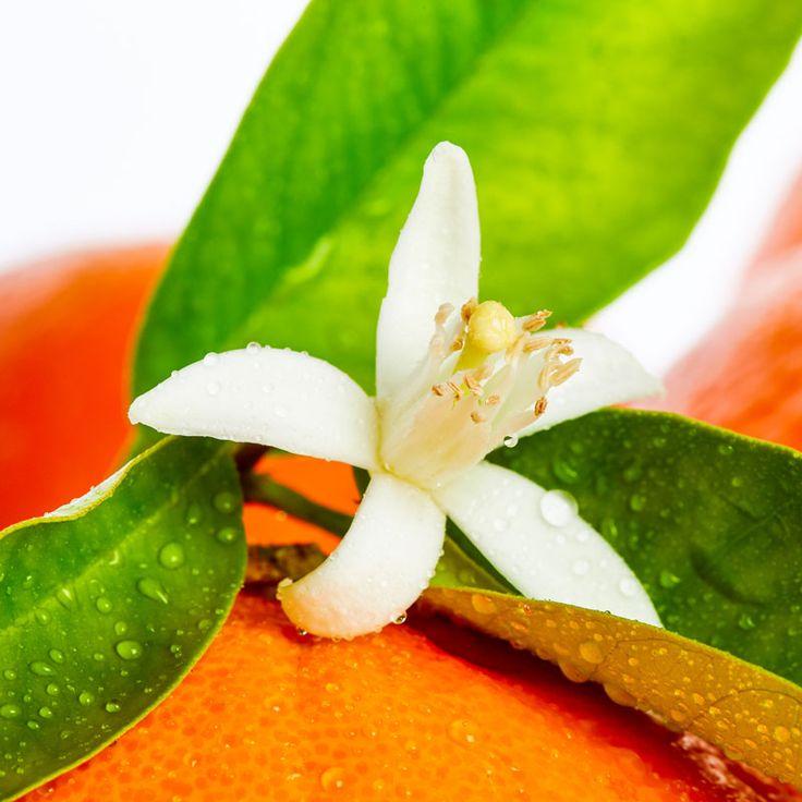 Die Wirkung und Anwendung von ätherischem Neroliöl: Das aus Bitterorangenblüten gewonnene ätherische Öl wirkt pflegend bei sensibler, irritierter Haut, Narben und Couperose, straffend bei Cellulite ...