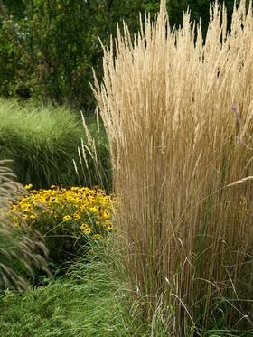 25 best images about ornamental grass garden on pinterest for Ornamental grasses for sun