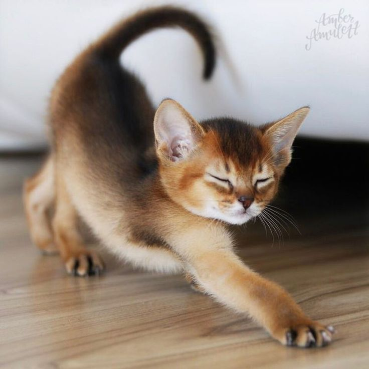 Adorable Abyssinian Kitten