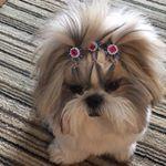 Bom fim de semana! #Framboesa #fram #shitzu #shihtzu #dog #dogs #babydog #filhote #shitzulovers #shithappens #pup #dog #doga #blogchegadebagunca #chegadebagunca #cdb #dicadaorganizer #dicadapersonalorganizer #euorganizo #organize #organizar #organizacao #personalorganizer #pessoasorganizadas #superorganizadas