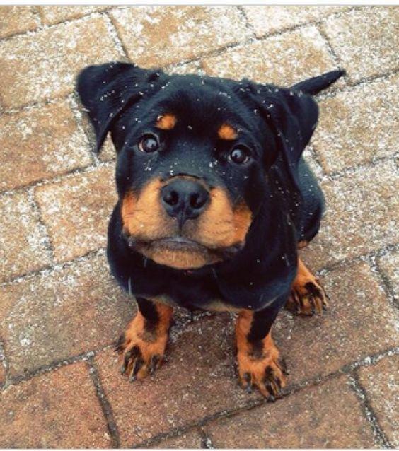 beautiful rottweiler puppy