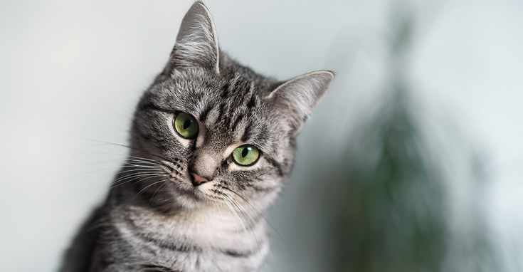 British Longhair The Life Of Animals British Shorthair Cats Blue Cats Russian Blue