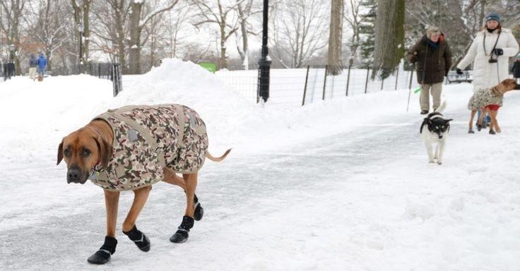 """O cão Orion (à esquerda) usa roupa e sapatos para caminhar pelo Central Park depois de uma tempestade de neve atingir Nova York, nos Estados Unidos. As interdições de estradas e paralisações do transporte público foram suspensas na cidade, onde caiu menos neve do que previsto. A população criticou as autoridades pela paralisação dos serviços sem necessidade. """"Você planeja o melhor que puder pela segurança"""", disse o governador do Estado de Nova York, Andrew Cuomo"""