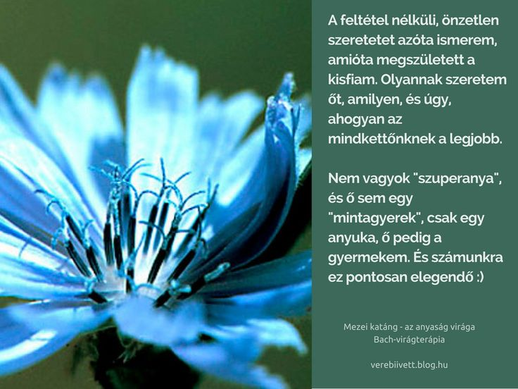 Bach flower remedies - Chicory