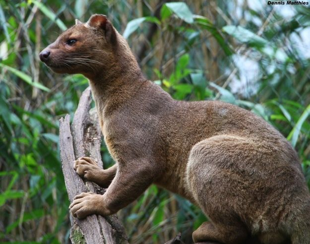 The fossa is a carniverous mammal of the mongoose family native to Madagascar.