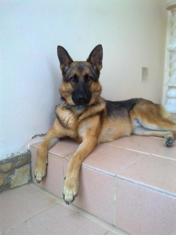 sable german shepherd | Is my female German Shepherd a sable? - German Shepherd Dog Forums