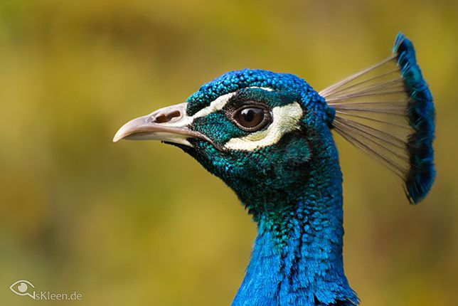 Peacock: 12 elusively blue animals: The rarest critters of them all  Read more: http://www.mnn.com/earth-matters/animals/blogs/12-elusively-blue-animals-the-rarest-critters-of-them-all#ixzz33bUnCiya