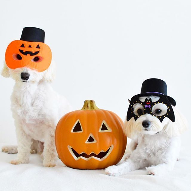 Today is Friday the 13th.👻 * 13日の金曜日… * 不吉な夜は、ウマウマお菓子をねだりに、 マリコロ・ジェイソンが現るという噂だよ🎃 * 皆さま、ボーロのご用意をお願いします🍭 * * * #nikon #instadog #poodle #doglife #halloween #inutokyo #doglover #petio #ilovemydog #icu_japan #igersjp #igdogs #insta_dogs #east_dog_japan #maltipoo #maltese #ダップー #マルプー #マルックス #トイプードル #マルチーズ #ミックス犬 #犬のいる暮らし #ハロコス2017 #ハロウィン #ペティオハロウィン #多頭飼い #北欧インテリア #愛犬 #ファインダー越しの私の世界