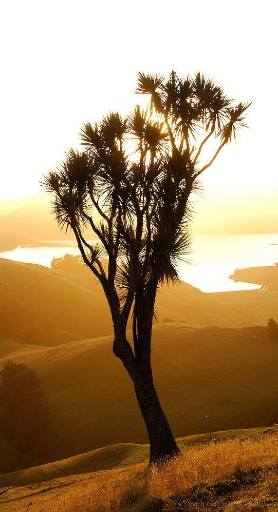 Cabbage tree silhouette - Otago Peninsula - New Zealand