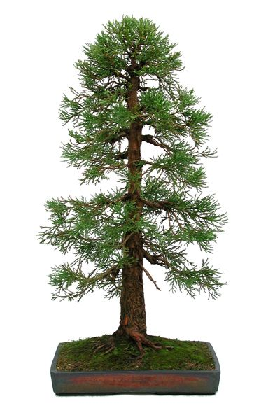 "Sequoiadendron giganteum grown from young nursery stock and planted in a Dansai pot. The tree is approximated 36"" tall and is now in the collection of John Trott. UK. -The Bonsai of Dan Barton"