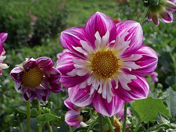 Ferncliff Gardens - View Flower