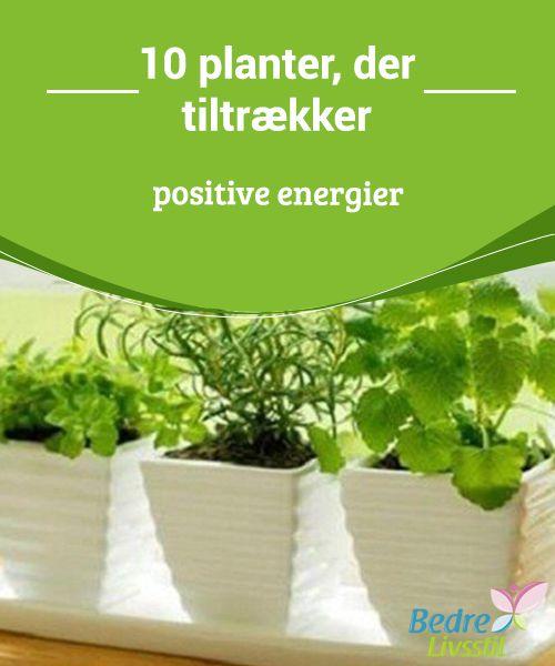 10 planter, der tiltrækker #positive energier  Når aloe vera vokser, #tiltrækker den #held og lykke. Men hvis den visner, er det #fordi den har absorberet den dårlige energi, og #beskytter os.