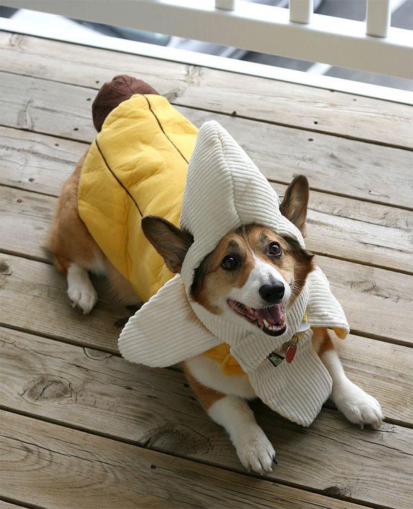 It's a corgi! In a banana suit!