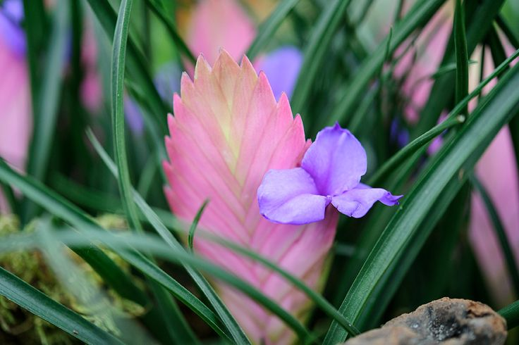 House plants: This bromeliad (Tillandsia cyanea) is native to Ecuador, growing on tree trunks. Grow in free-draining but moist compost, away from direct sunlight. Read about other exotic house plants here http://www.gardenersworld.com/plants/features/plants/10-exotic-house-plants/3482.html