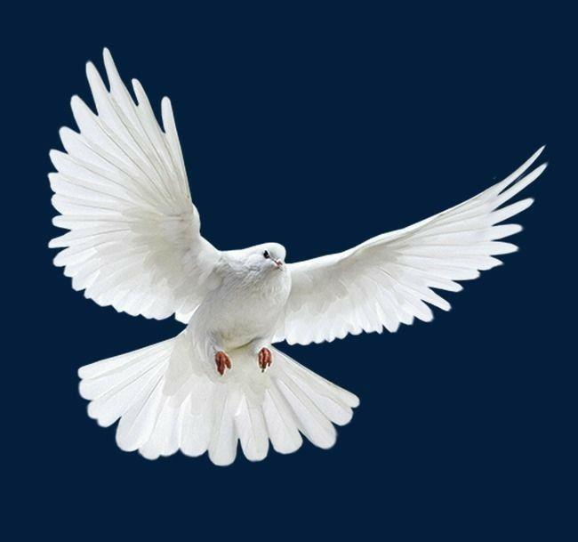 Millones De Imagenes Png Fondos Y Vectores Para Descarga Gratuita Pngtree White Doves Birds Flying Pigeon Pictures