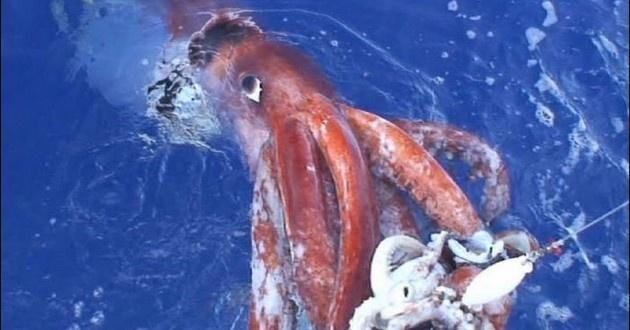 Calamaro gigante tra leggende e verità
