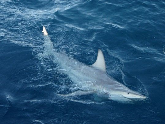 Scientists have identified the first-ever hybrid shark off the coast of Australia, a discovery that suggests some shark species may respond to changing ocean conditions by interbreeding with one another.