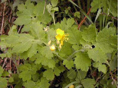 Glistnik jaskółcze ziele (łac. Chelidonium majus) –