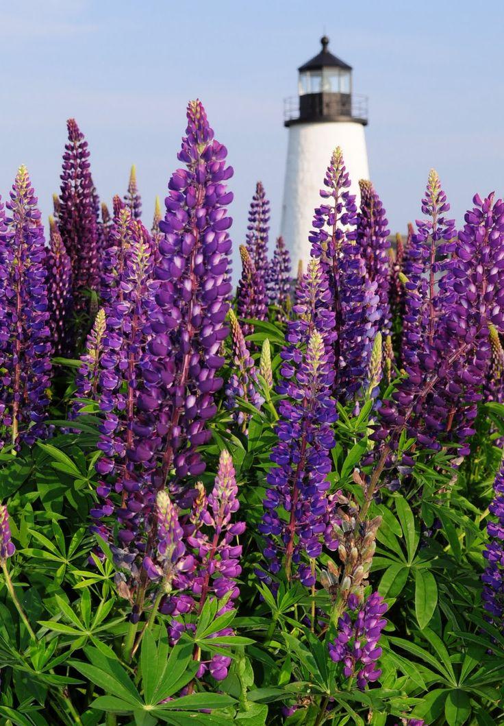 Pemaquid Lighthouse Maine Lupines Lupine Flowerspurple