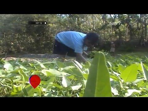 Berkah untuk Petani Kangkung Banjarnegara di Musim Kemarau - NET16 - YouTube