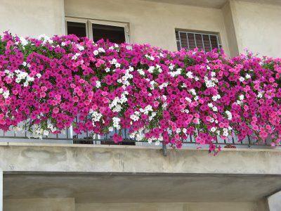 Balcony gardening ... or just exterior decorating?Balconies Gardens, Balconies Inspiration, Google Search, Balconies Covers, Apartments Gardens, Gardens Patios Outdoor, Balconies Flowers Petunias, Flower Boxes, Purple Flower